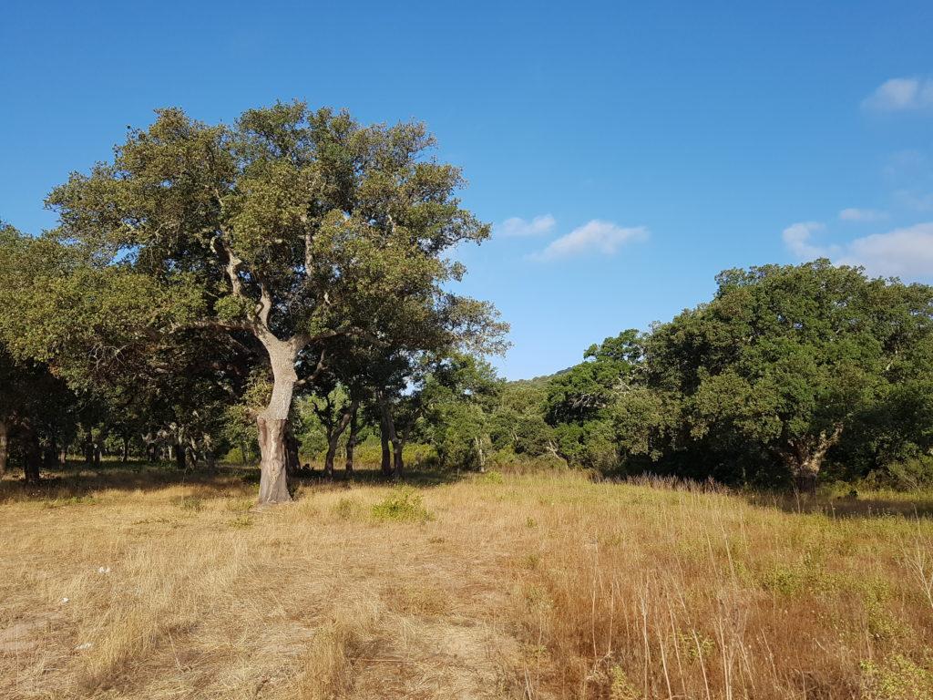 Chêne liège de Corse